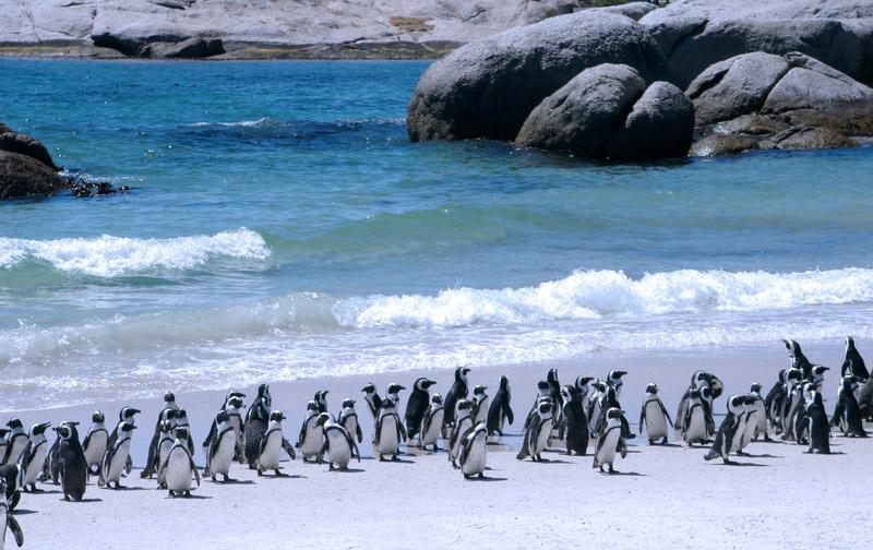 Image result for Boulders Beach Penguins: