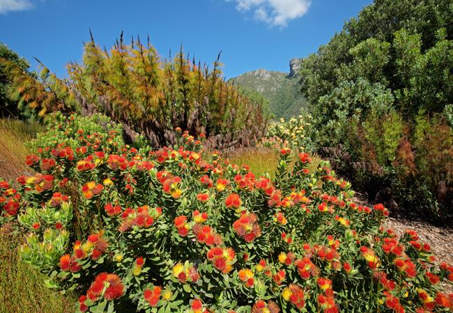 Resultado de imagem para cape floral kingdom plants