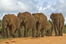 Elephants in the Greater Addo Elephant Park