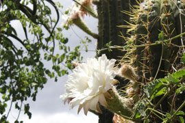 Cactus flowers in bloom at Obesa Cacti Nursery