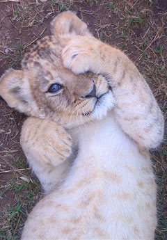 http://www.sa-venues.com/attractionsec/images/seaview-lion-cub-pic.jpg