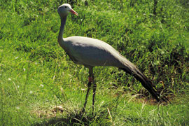 Blue Crane in Austin Roberts Bird Sanctuary