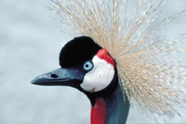 Crowned Crane in the Austin Roberts Bird Sanctuary