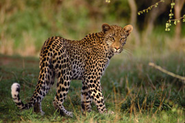 Leopard in the Kruger Park, Mpumalanga