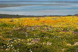 Flowers in Namaqualand, Northern Cape