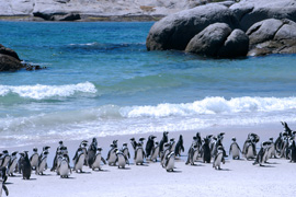 Penguins on the False Bay Coast