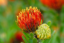 'Pincushion' at Kirstenbosch Botanical Garden