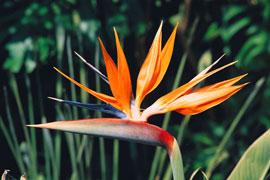 'Stelizia' at Kirstenbosch Botanical Garden