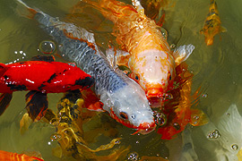 Western cape baby koi show for Baby coy fish