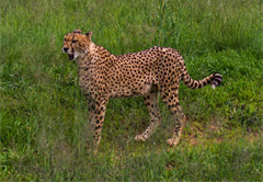 Anne van Dyk Cheetah Centre