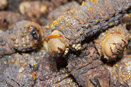 Venda Cuisine: Dried Mopane worms