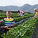 Pick Strawberries at Redberry Farm, Garden Route