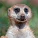 Walk with Meerkats, Cape Town