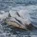 Watch Whales and Dolphins play, Eastern Cape