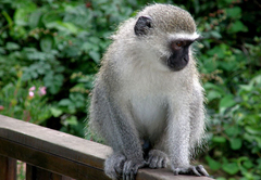 Vervet monkey on the terrace