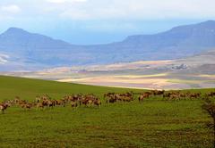 Eland on property