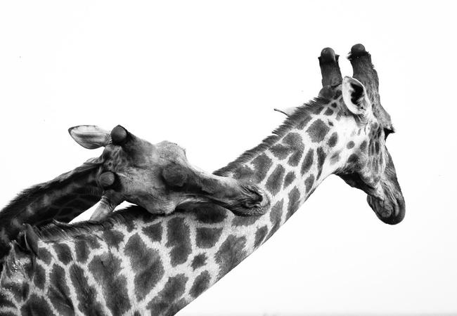 Giraffe in Maseke Game Reserve
