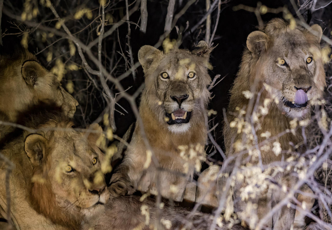 Lions in Maseke Game Reserve