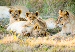 Gondwana Lion Pride