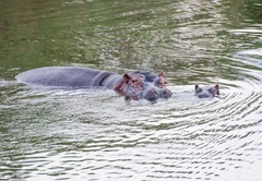 Hippo Water Front