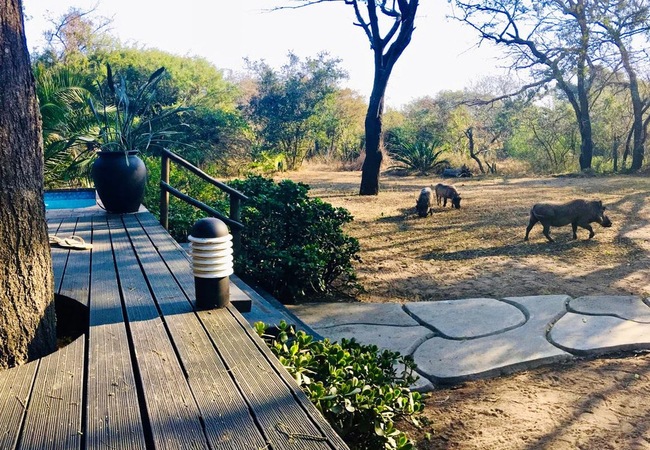 Warthogs on the lawn