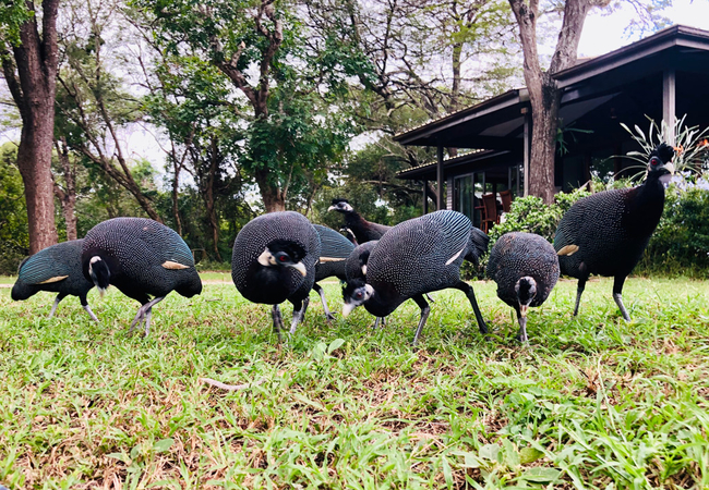 Crested guineafowl visit