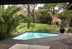 Giraffe wander past