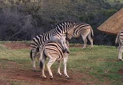 J-Bay Zebra Lodge