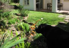 Garden Flame Lily