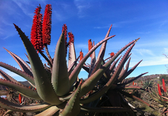 June flowering Aloes