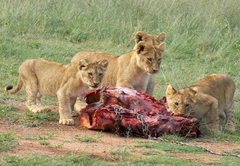 Lion feeding excursions Sunday and Wednesday