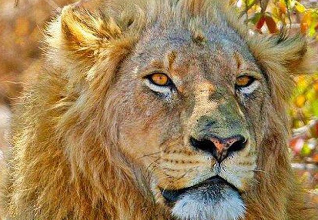 Lion feeding excursions bring you up close