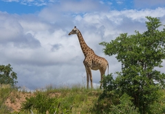 Wildlife - Giraffe