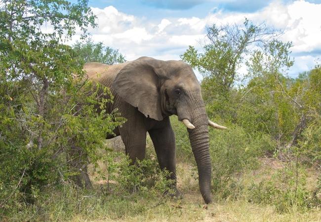 Wildlife - Elephant