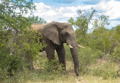 Wildlife - Elephant