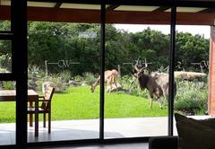 Free Roaming Antelope