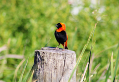 Red Bishop One