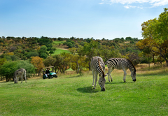 Zebra\'s on Golf Course