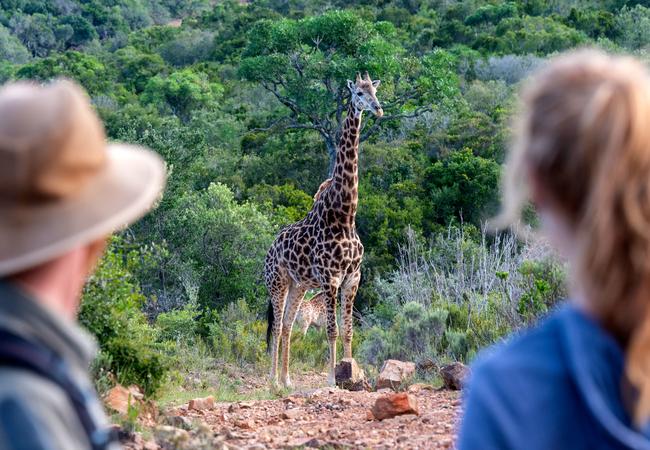 Giraffe Walks