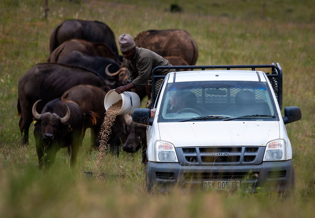 Buffalo Feeding Tour