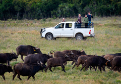 Buffalo Feeding Tour