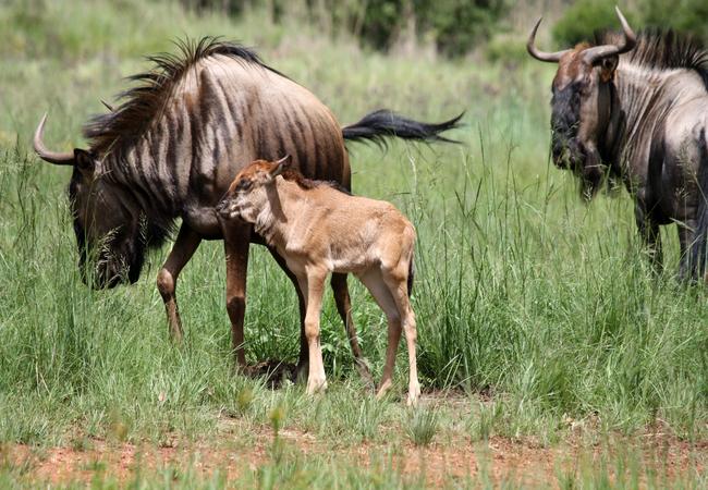 Our Wildebeest