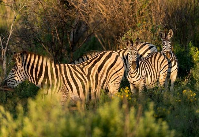 Thula Thula Zebras
