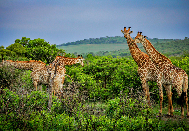 Thula Thula Giraffe