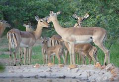 Impala in the garden