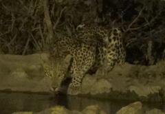 Leopard - wildlife without fences