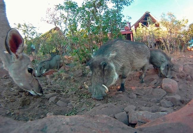 Kudus and Warthogs visiting Warthog Lodge