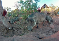 Kudus and Warthogs visiting Warthog Lodge