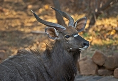 Nyala Bull visiting Warthog Lodge