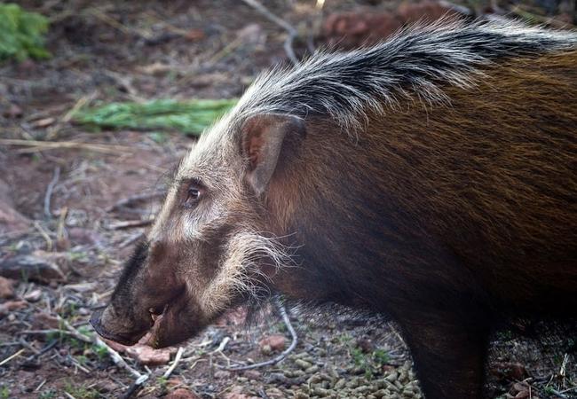 Bush Pig at Warthog Lodge